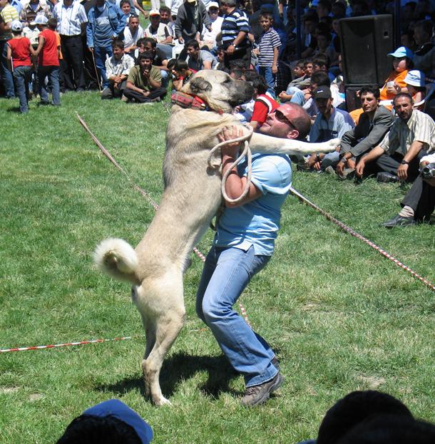 Türkischer hirtenhund